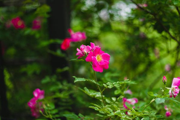 Dog rose with fuchsia flowers