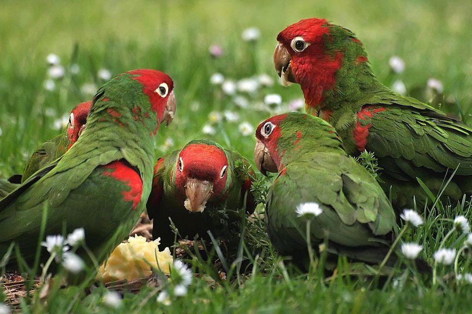 San Francisco's wild parrots