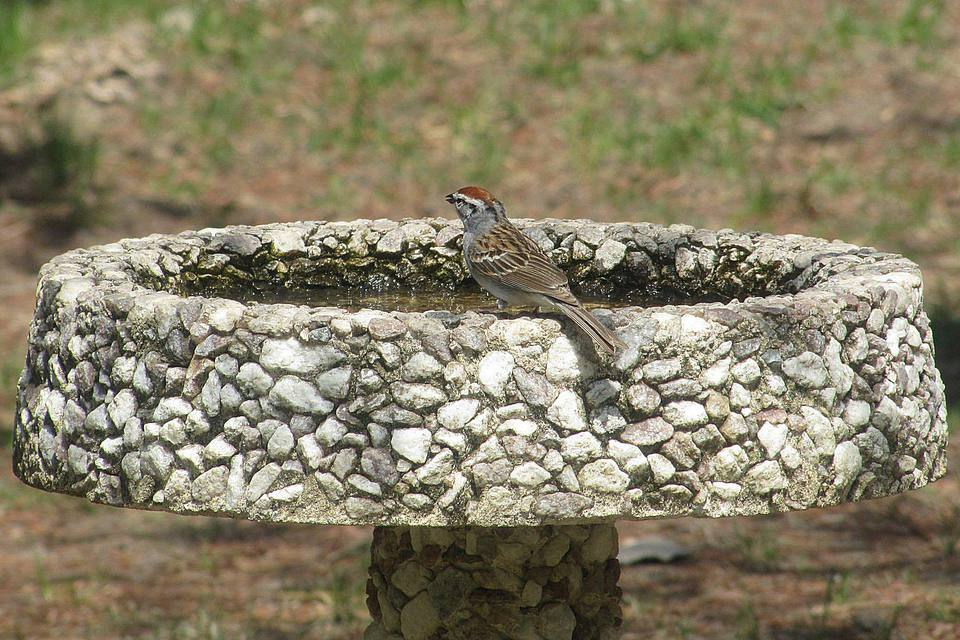 Concrete Bird Bath With Chipping Sparrow