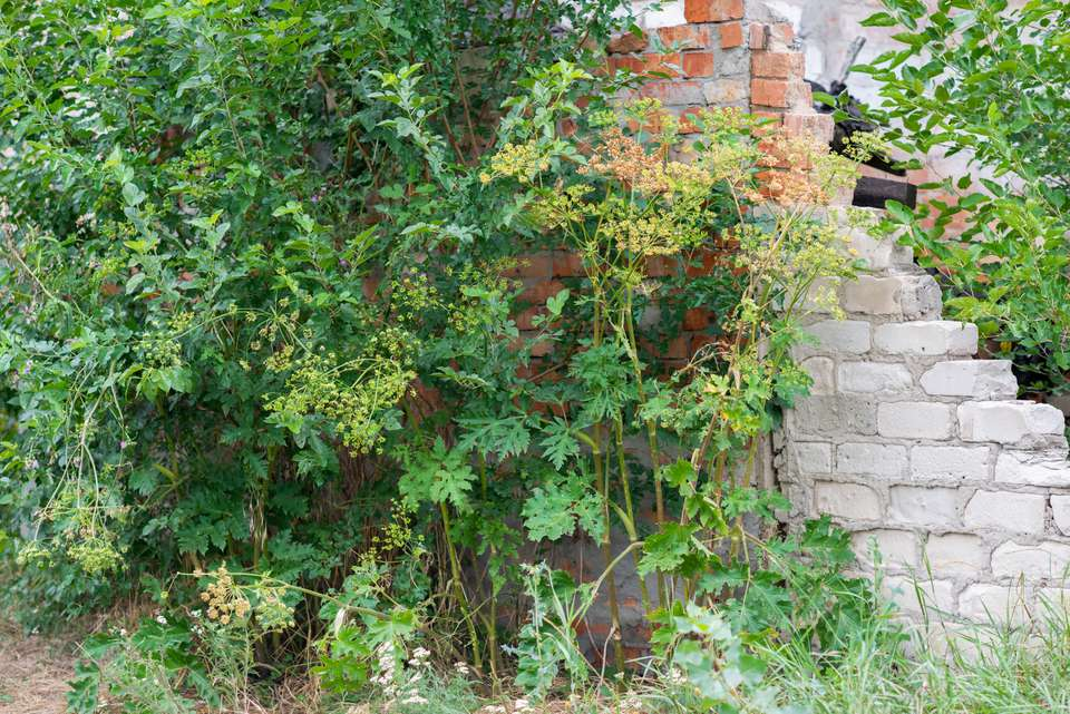 Giant hogweed plant with tall thin stems and wide-topped flower clusters on top next to brick wall