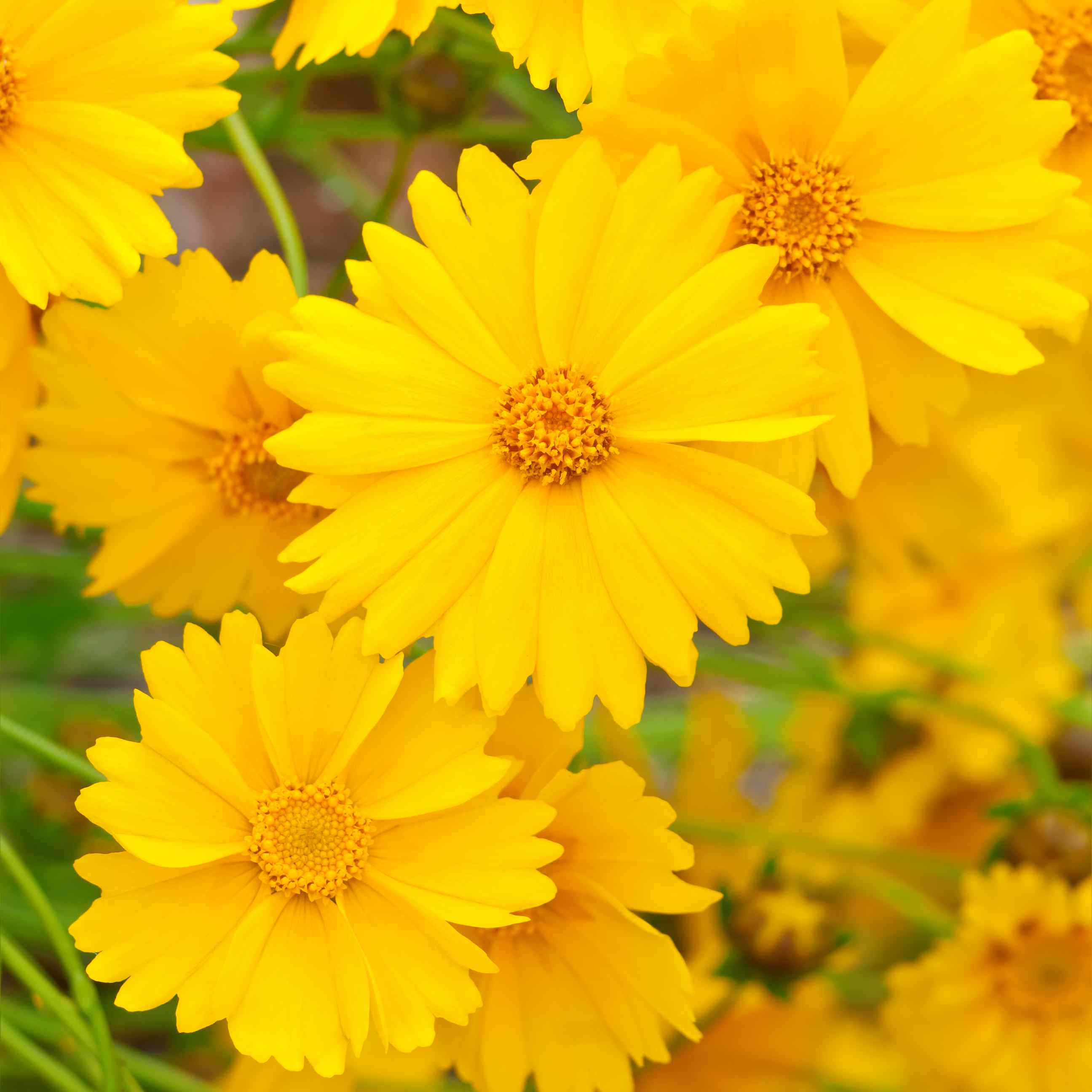 Lanceleaf Coreopsis with yellow petals and centers