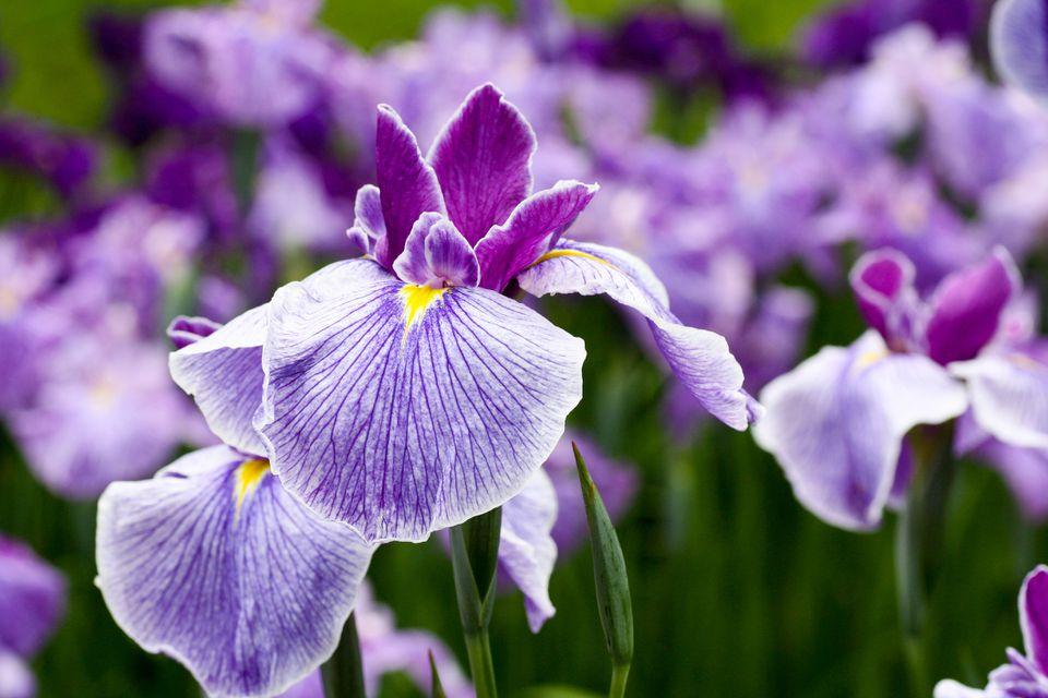 Iris plants
