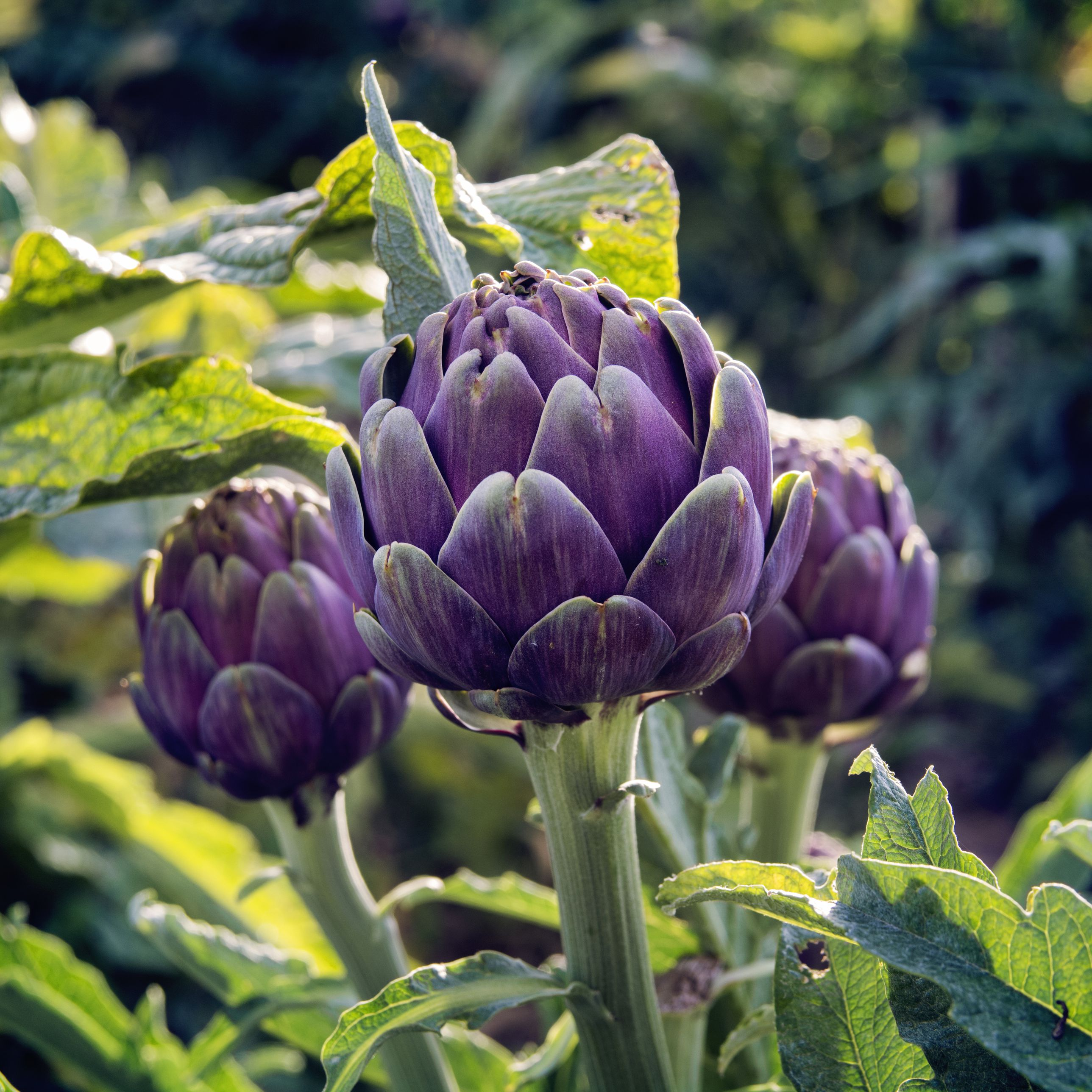 How to Grow and Care for Artichoke Plants