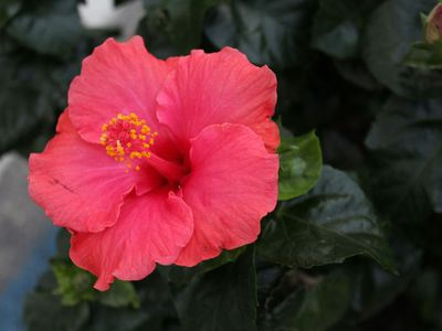 How To Grow And Care For Hibiscus Plants