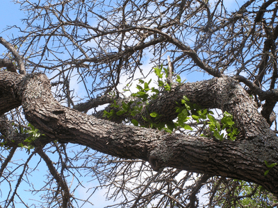 Oak tree infected with oak wilt the year before, with some new growth about 25 feet up the tree