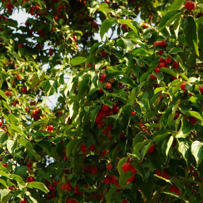 Docenas de cerezas Rainier en un plato blanco
