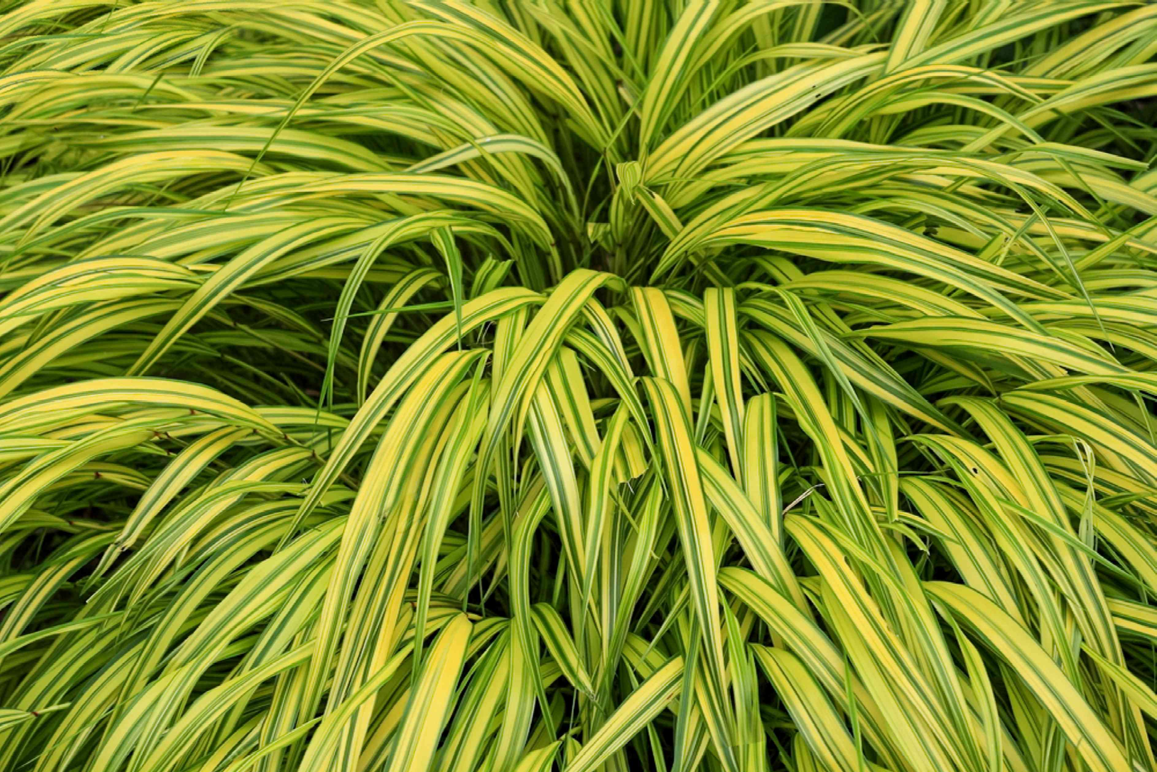 Golden Japanese forest grass with arching yellow-green blades