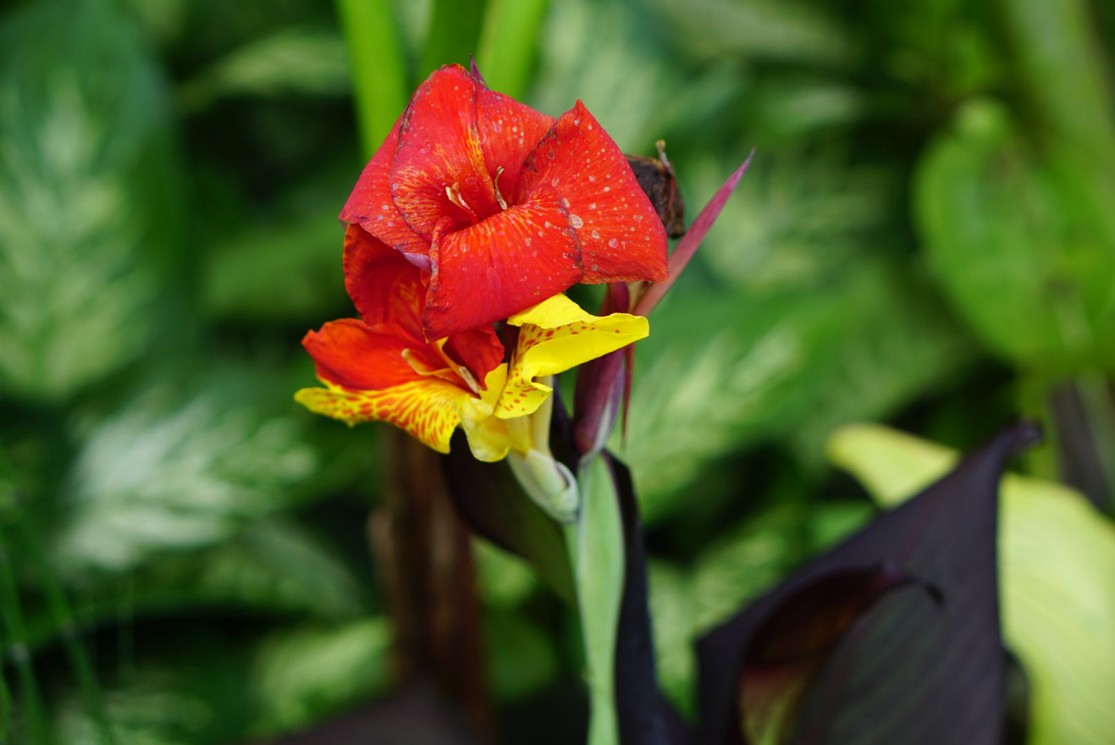 Tropicanna canna plant with bright red and yellow flower closeup