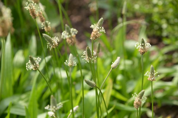 Broad-leaved plantain with small green flower spikes and tiny white flowers on thin stems
