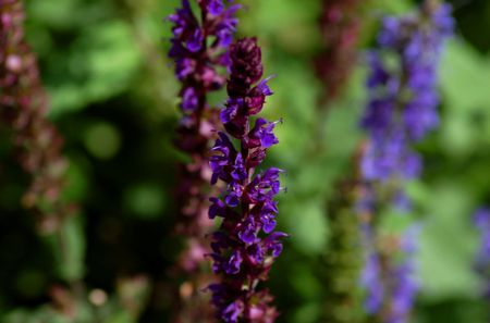 Caradonna Salvia Image Has Flower Spikes Blue Hill Is Lighter