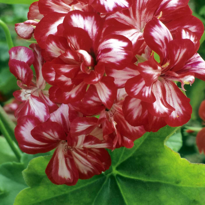'Mahogany' Ivy Geranium