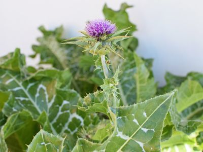 Milk thistle with purple flower and marbled leaves