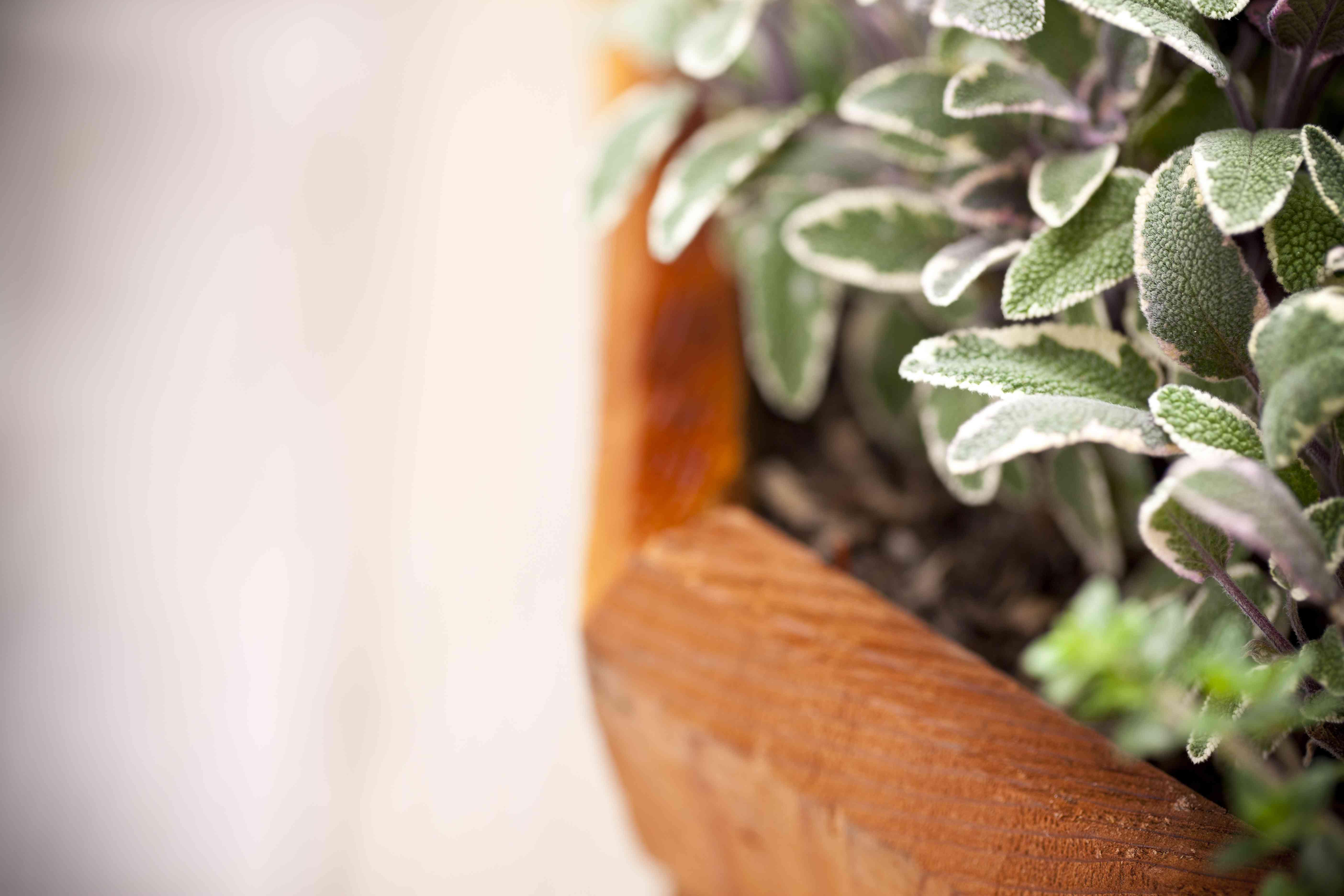 Salvia fresca