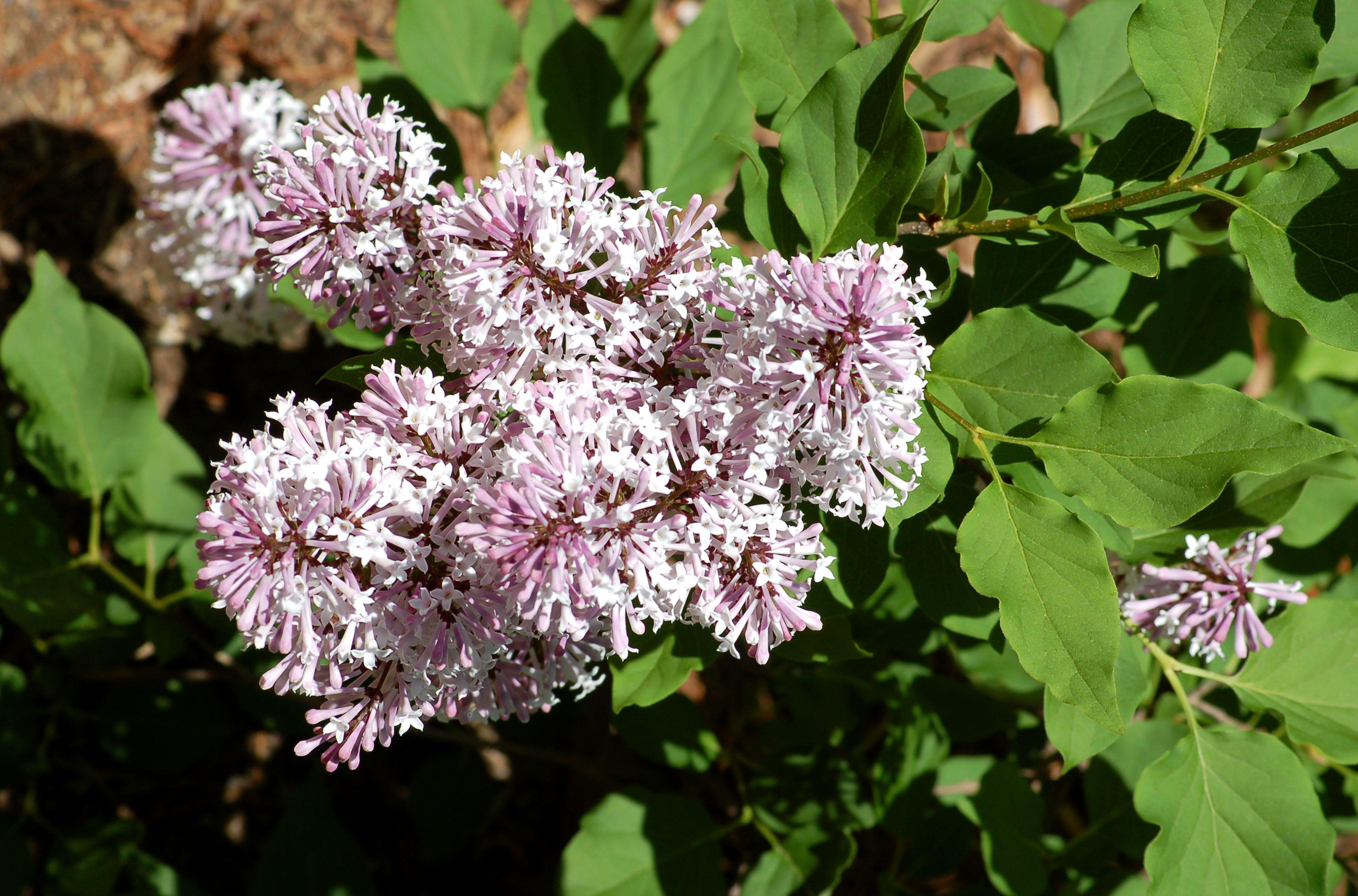 Miss Kim lilac in bloom.