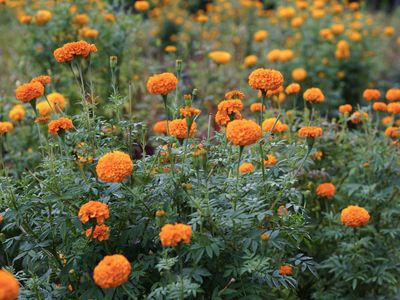 Field of mexican marigolds with orange flowers