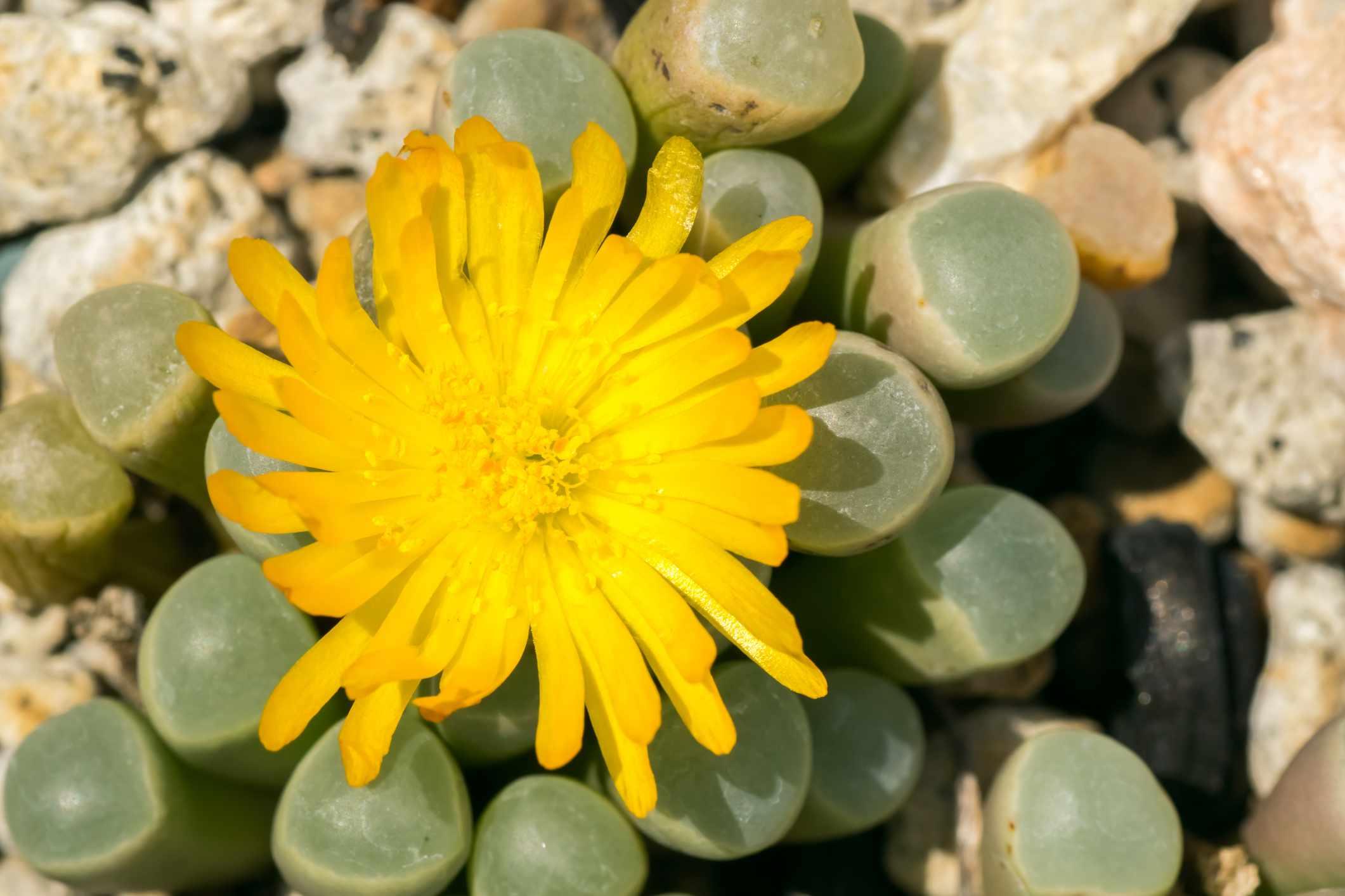Fenestraria rhopalophyllaaka baby toes succulent bright yellow flower.