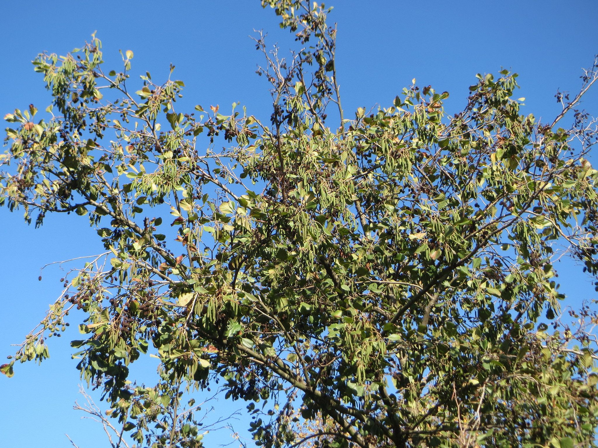Discovering Varieties Of Alder Trees And Shrubs