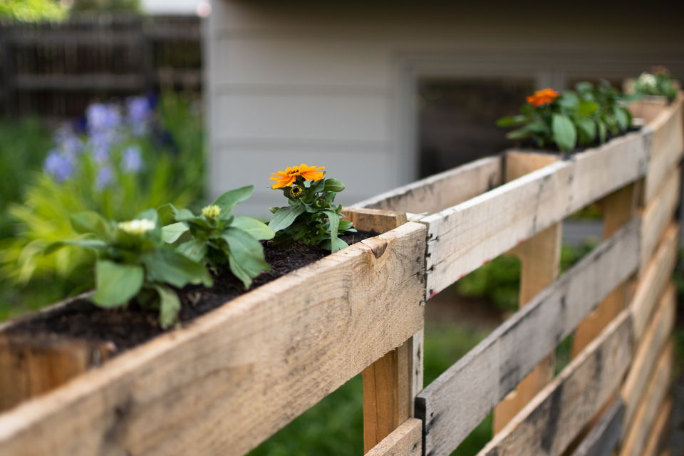 Wood pallets used as garden bed and fence with orange flowers