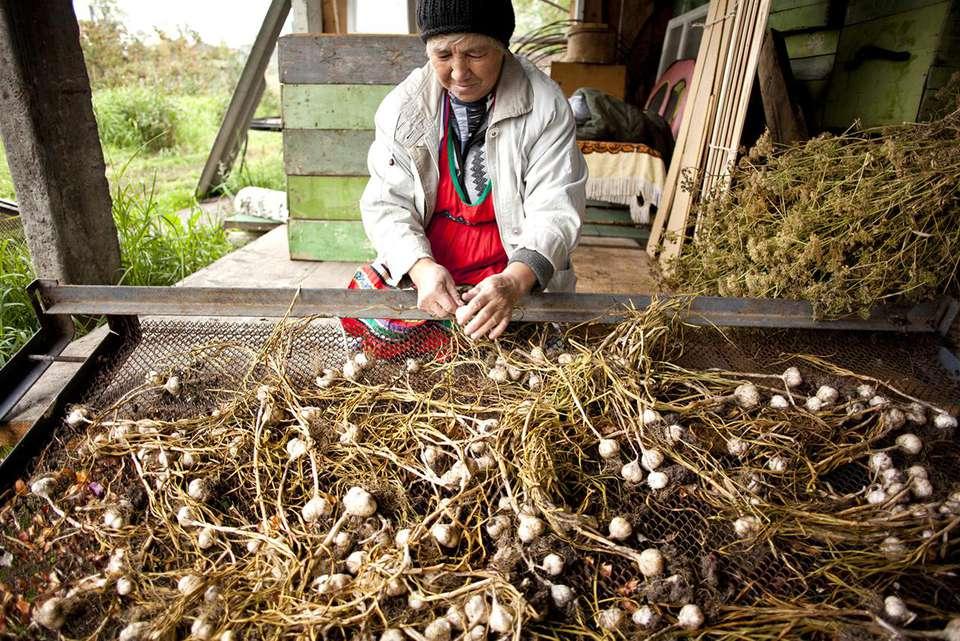 Senior Woman Harvesting Fresh Garlic in Farmhouse
