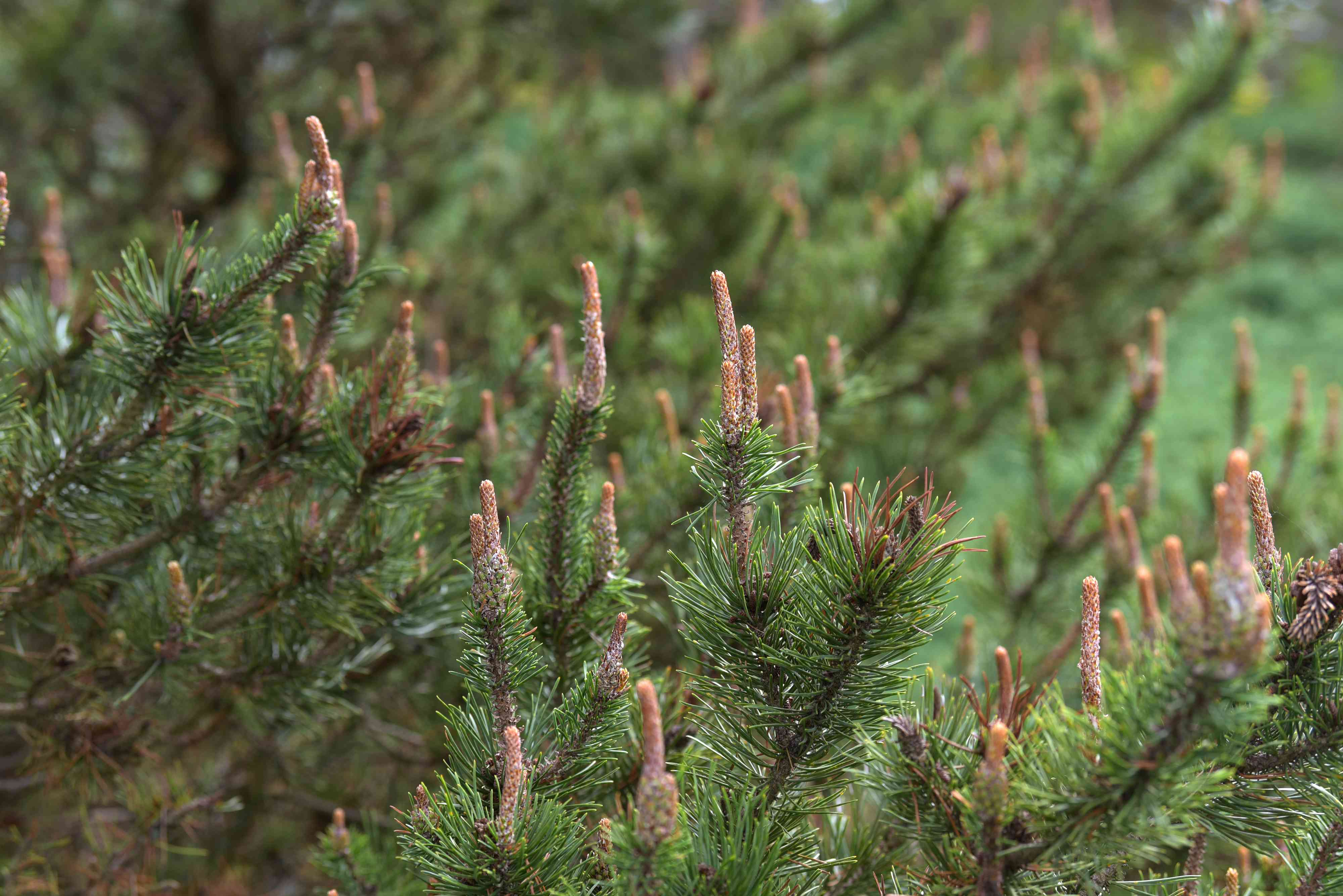 Lodgepole pine tree branches with twisted branches and long, thin cones growing upwards