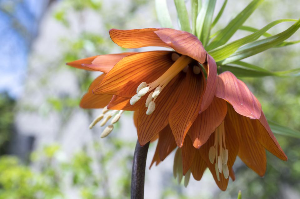 Fritillaria imperialis crown imperial flower in bloom, beautiful tall orange red flowering springtima bulbous plant