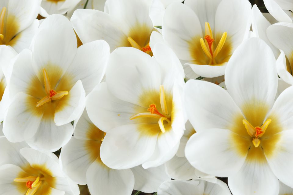 14 beautiful crocus varieties to plant ard schenk crocus mightylinksfo