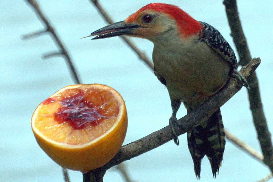 woodpecker-eating.jpg