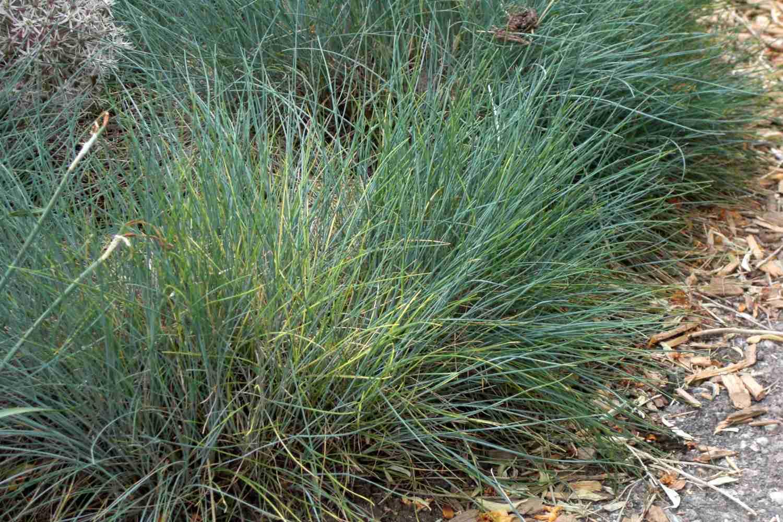 Blue fescue grass along a walkway.