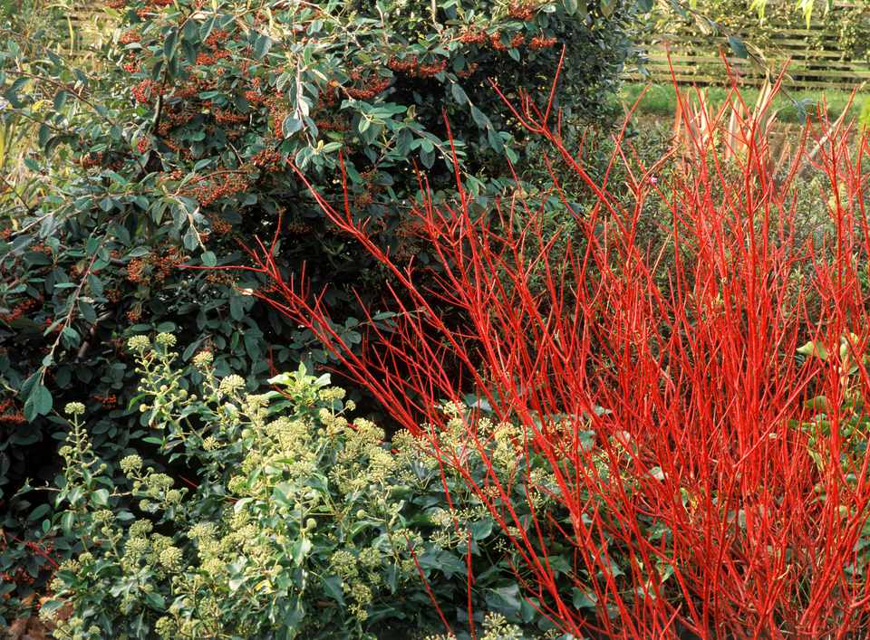 Red Dogwood twigs