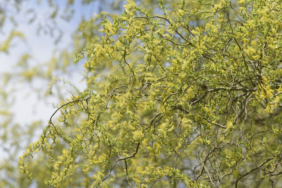 Corkscrew willow tree with twisted branches and yellow-green catkins hanging from contorted twigs