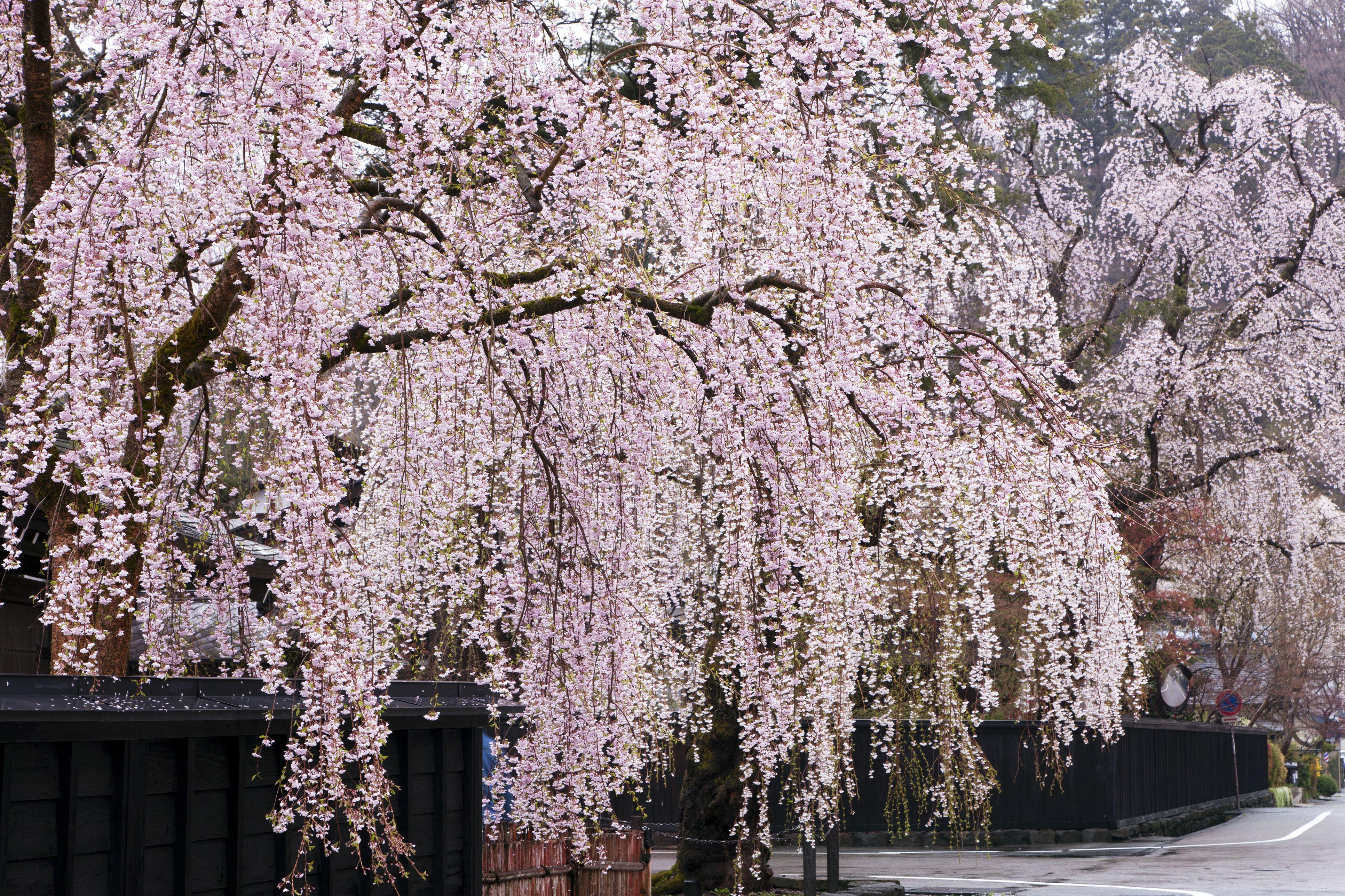 19 Species Of Weeping Trees