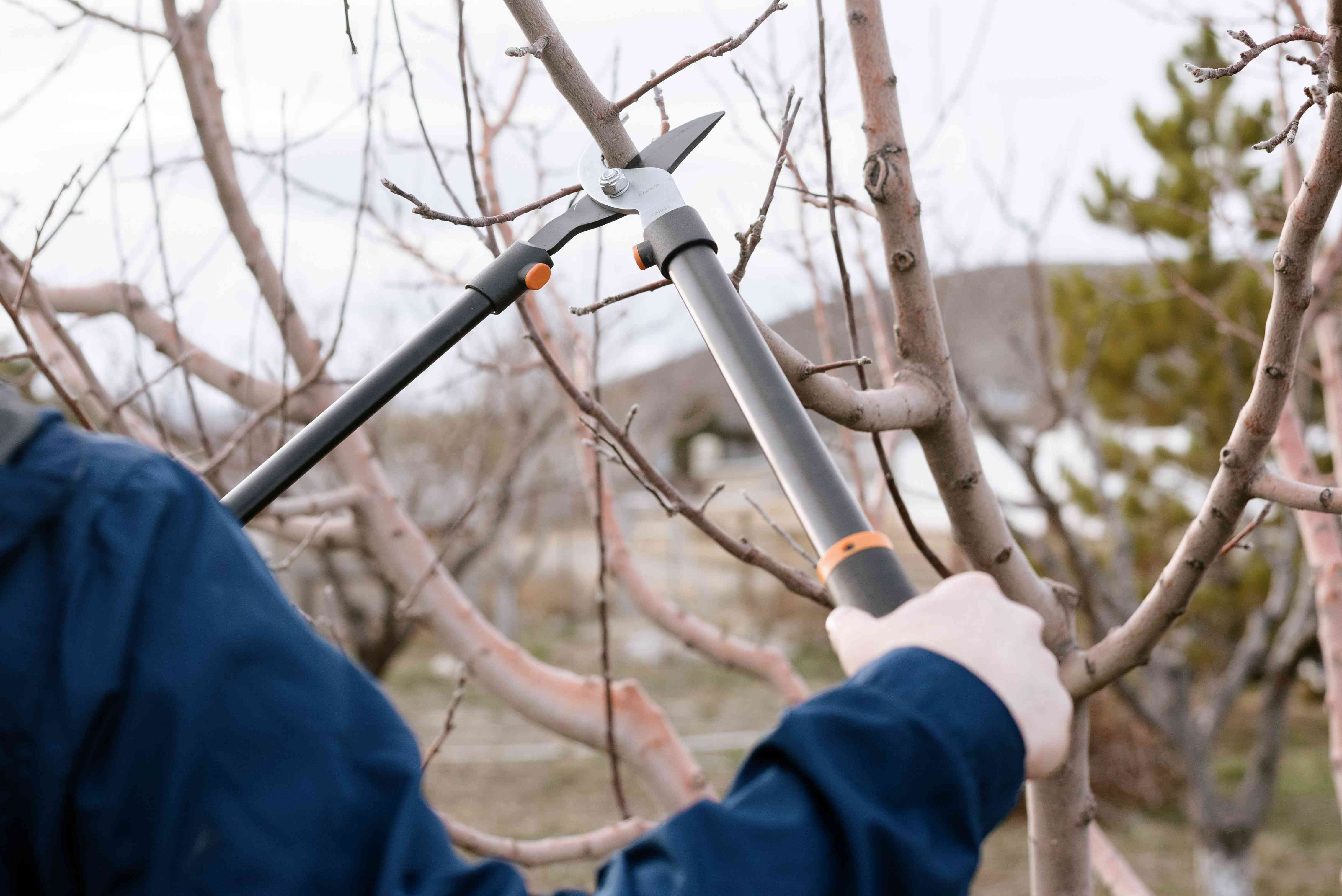 Bypass lopper being used to cut dry tree branch