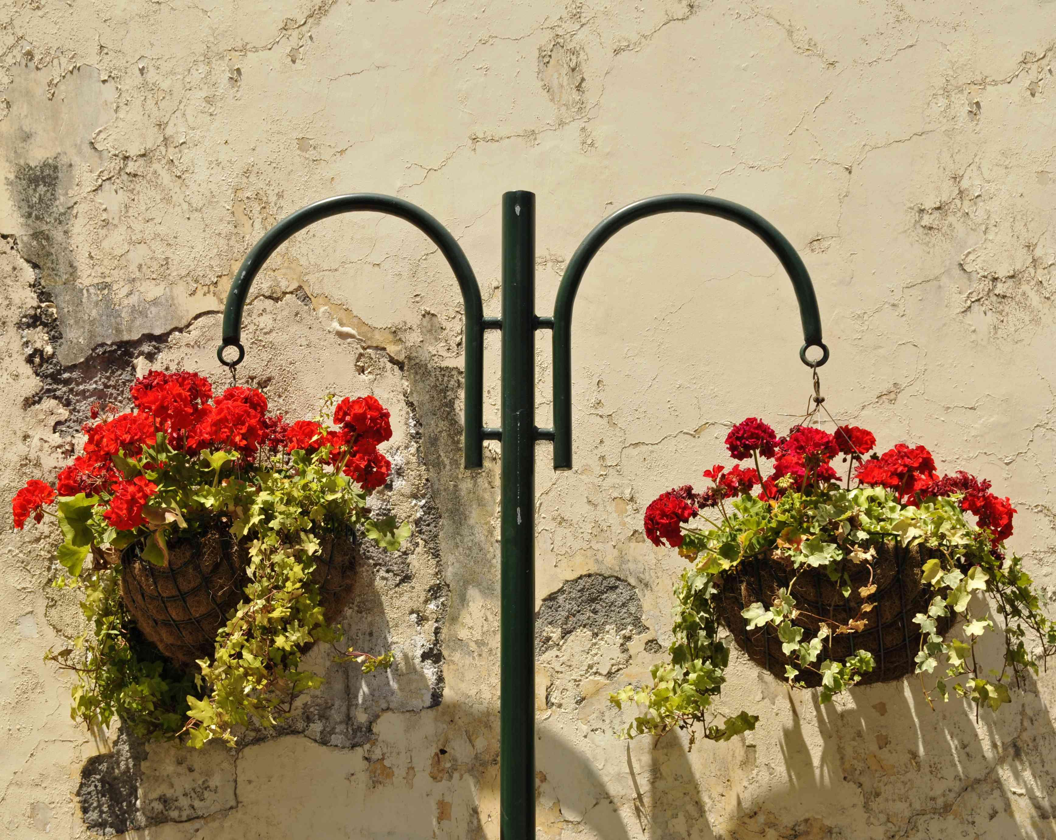 Hanging basket of Pelargoniums