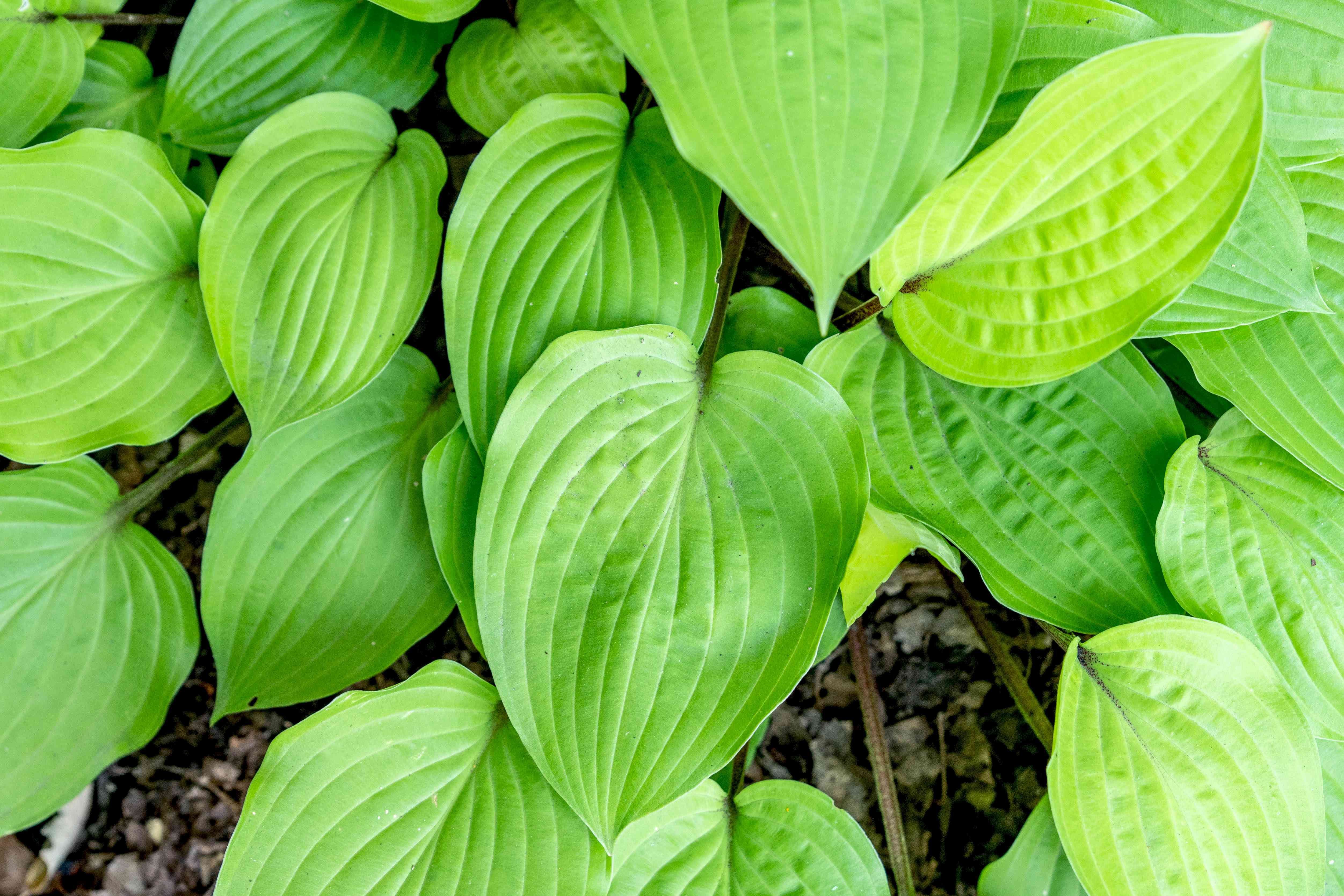 Fire island hosta plant with bright green and yellow-green ribbed leaves closeup