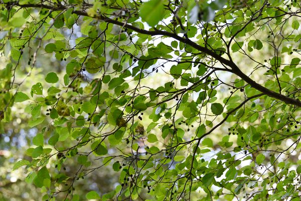 Black alder tree with thin branches with bright green leaves and small buds
