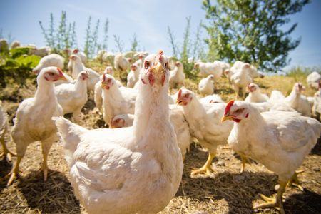 How to Slaughter and Process Chickens for Meat