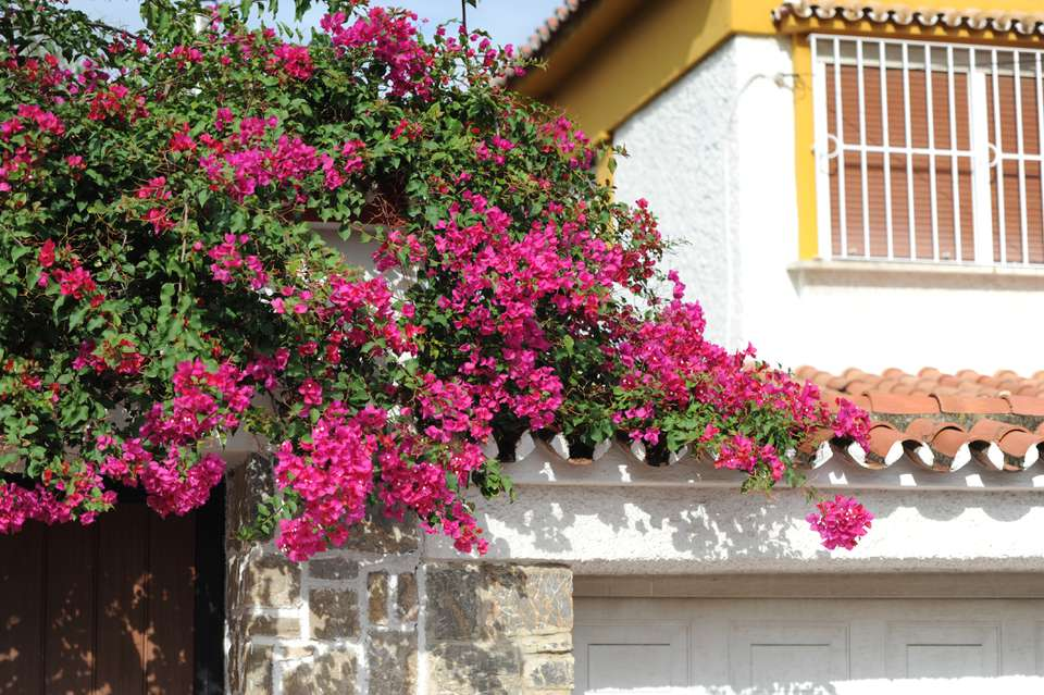 Bougainvillea vines with fuchsia flowers hanging over house