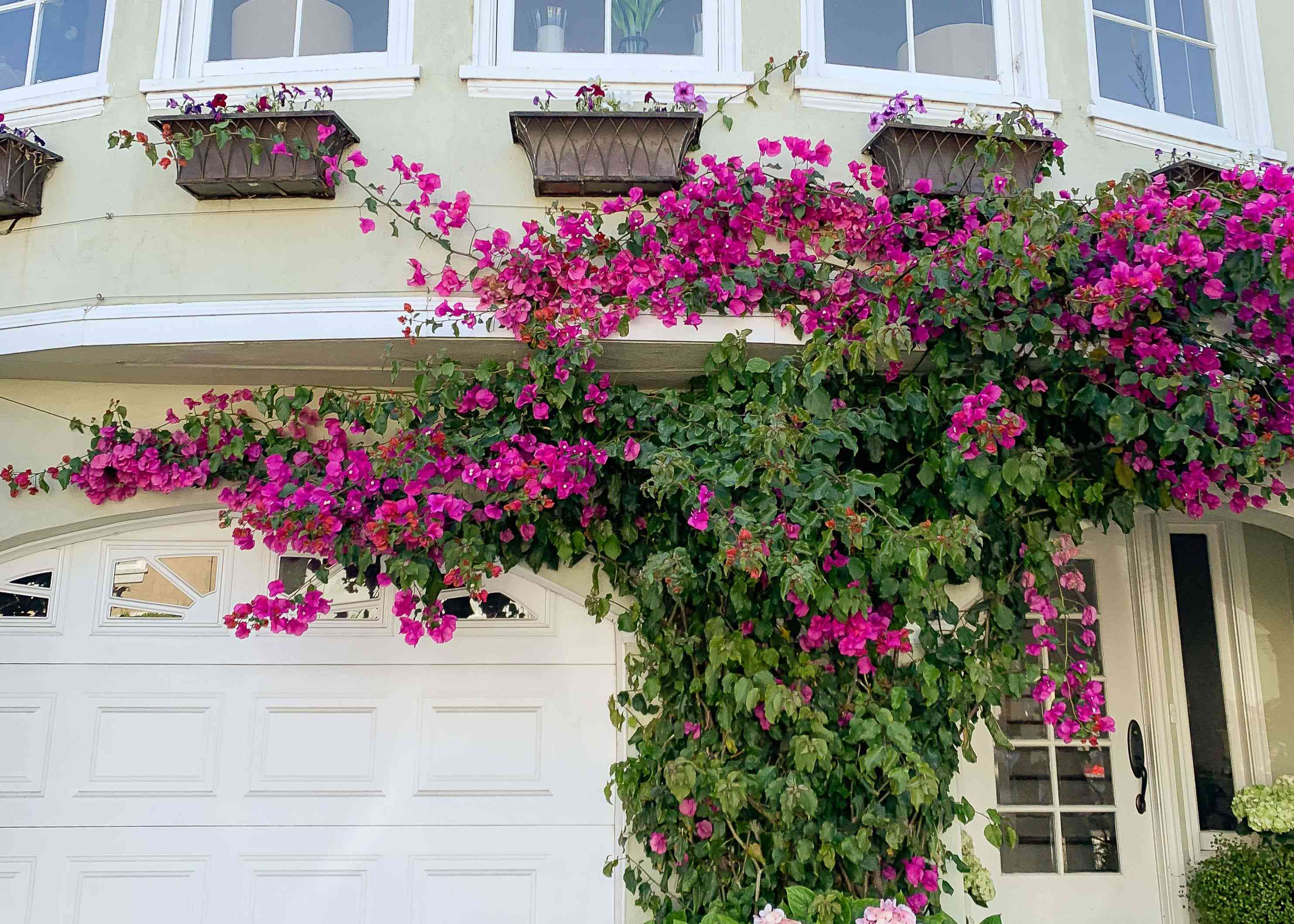 Bougainvillea shrub covering garage front with deep pink flowers on vines