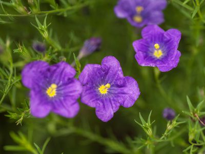 Nierembergia plant with small purple saucer-like flowers and yellow centers closeup
