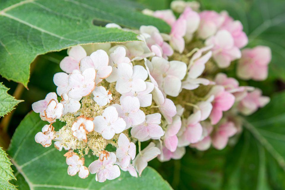 oakleaf hydrangea variety