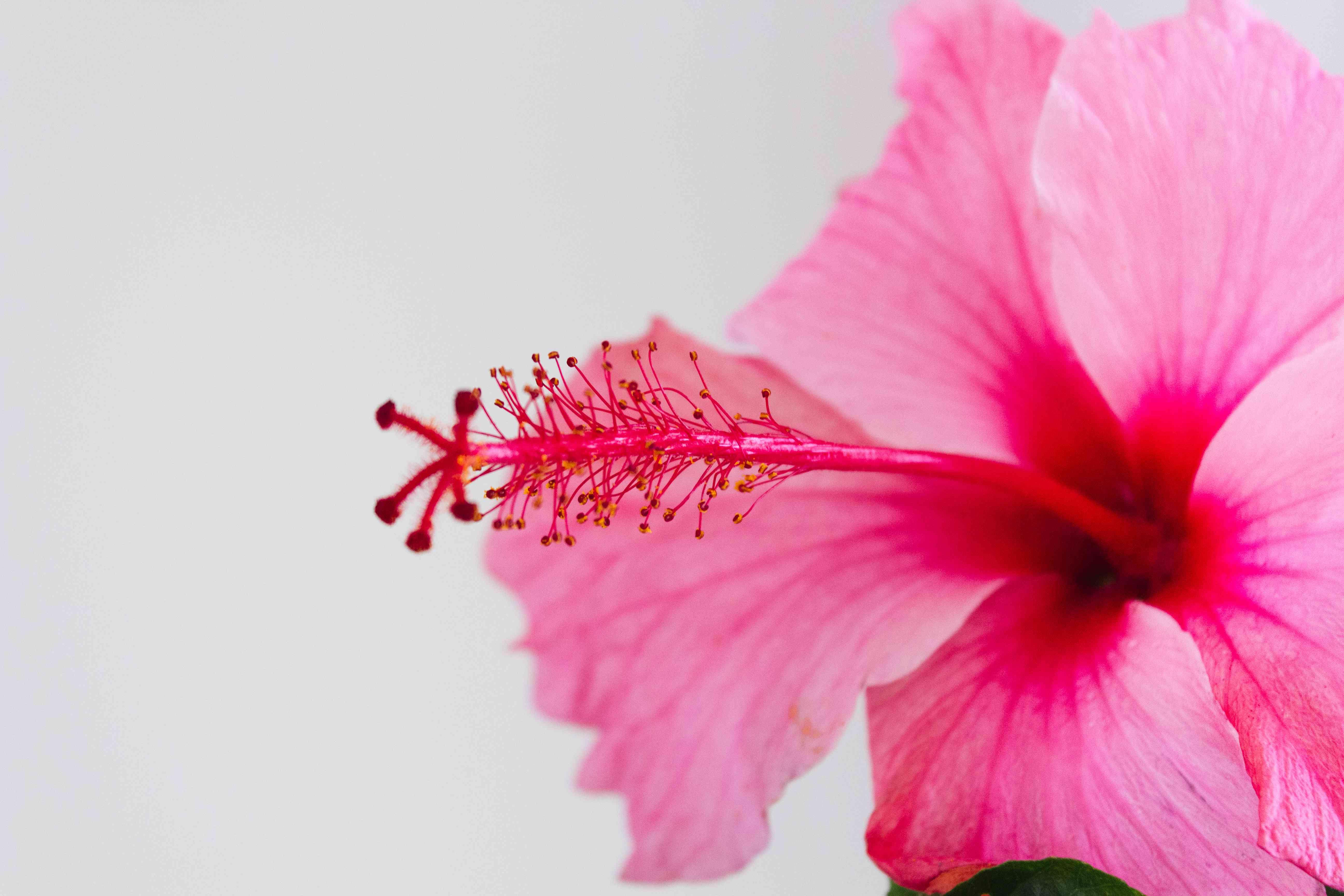 closeup of pink hibiscus flower