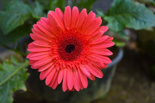 The gerbera daisy with salmon petals and a red center