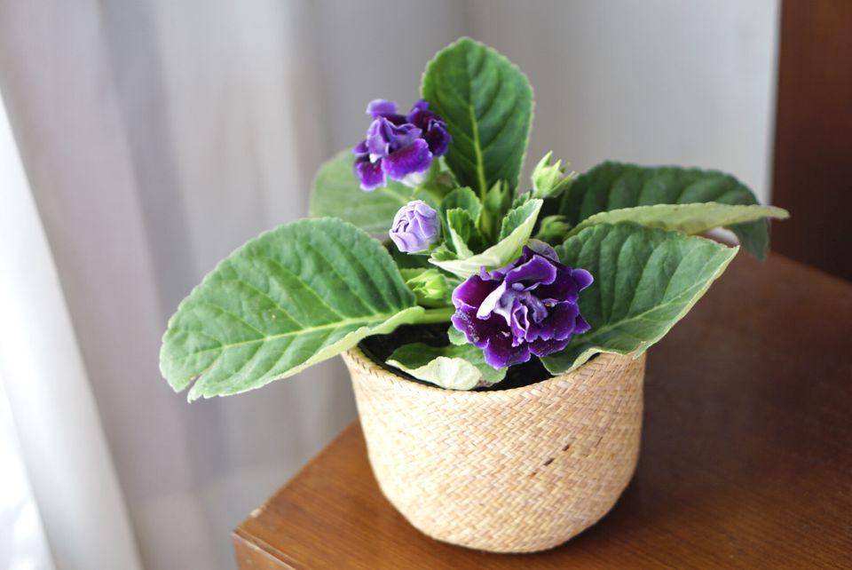 Gloxinia senningia hybrid plant with purple flowers in woven planter