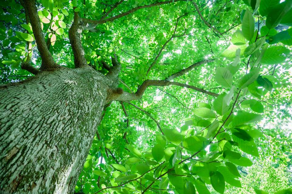 Looking upwards from under a cumber magnolia.tree