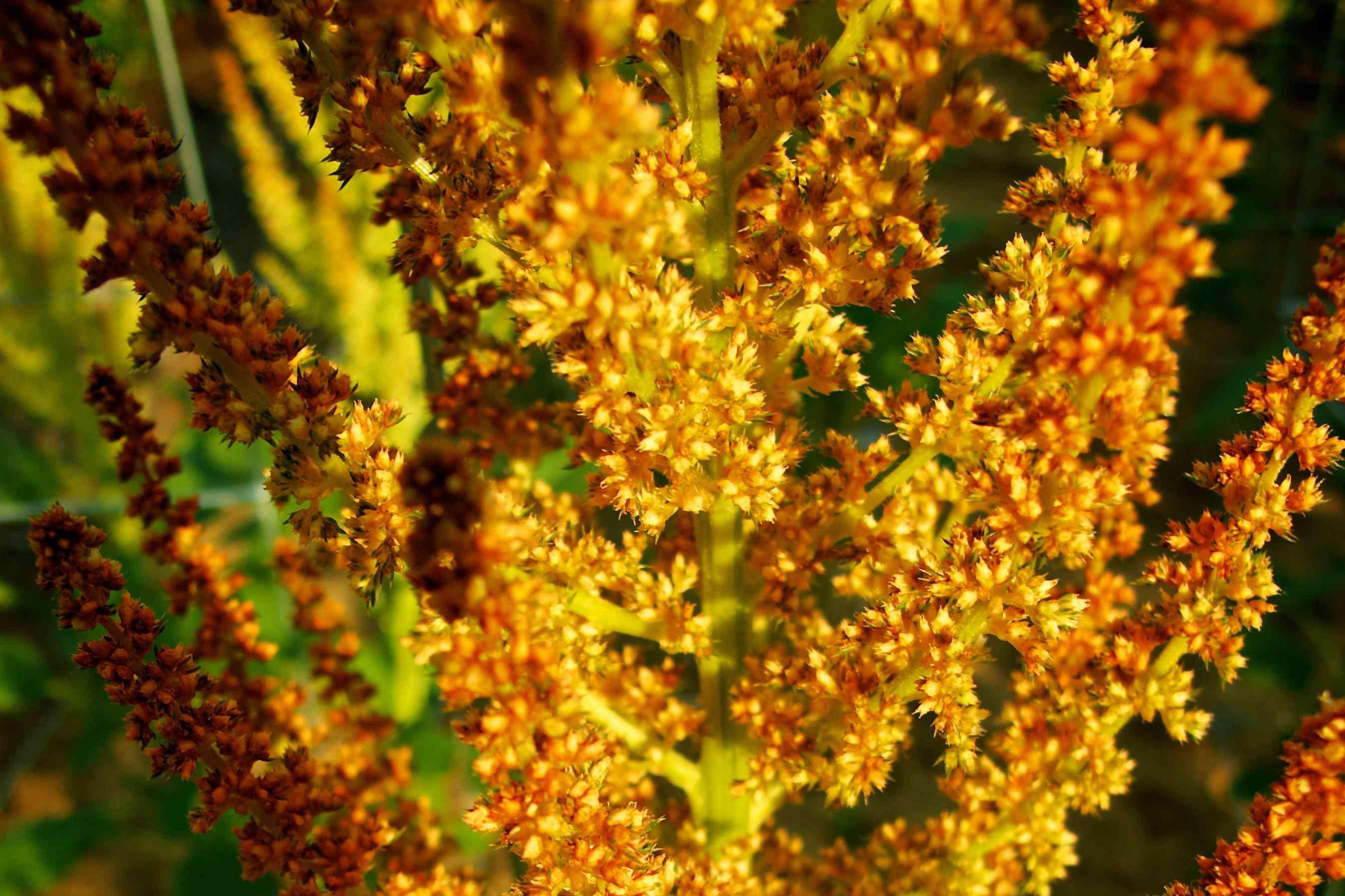 Amaranthus Autumn's Touch
