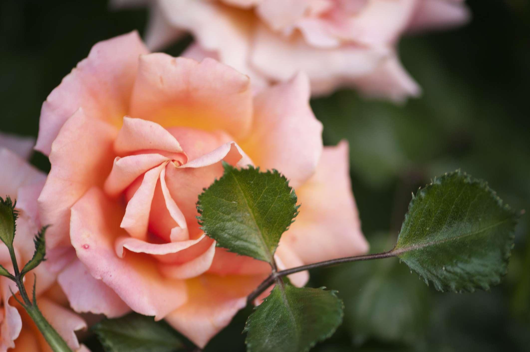Rosa fácil