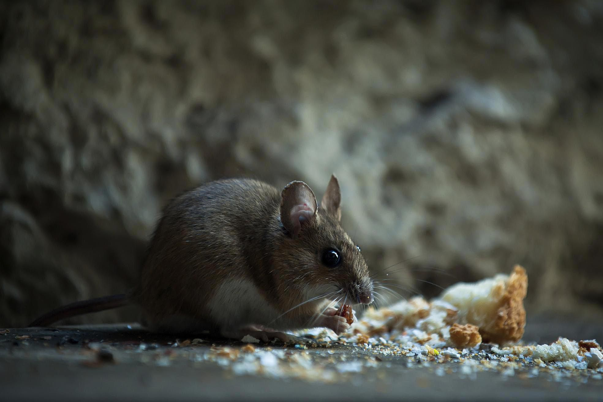 8 Important Prep Steps For Rodent Control Service
