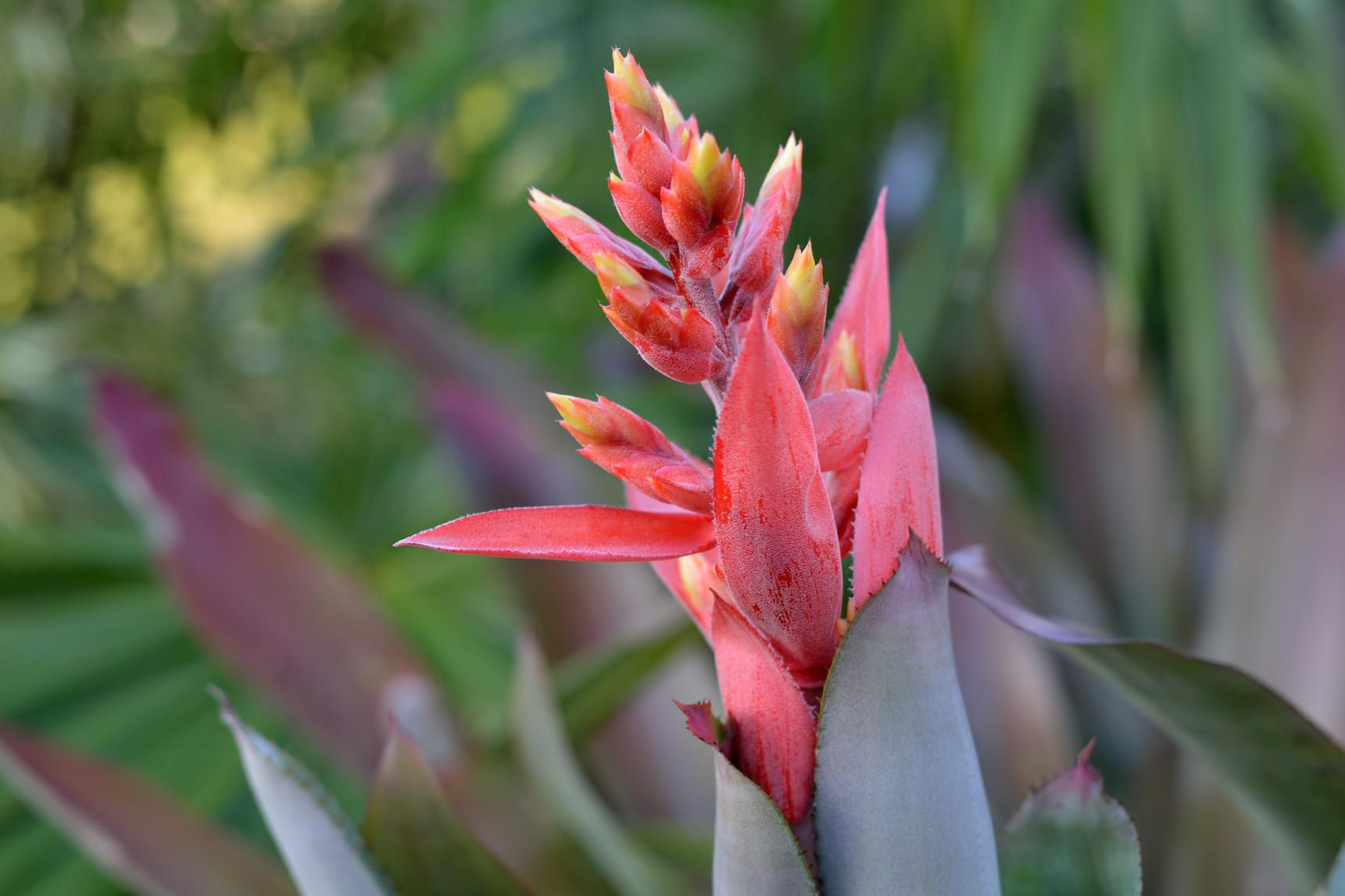 Aechmea bromeliad with a magenta flower