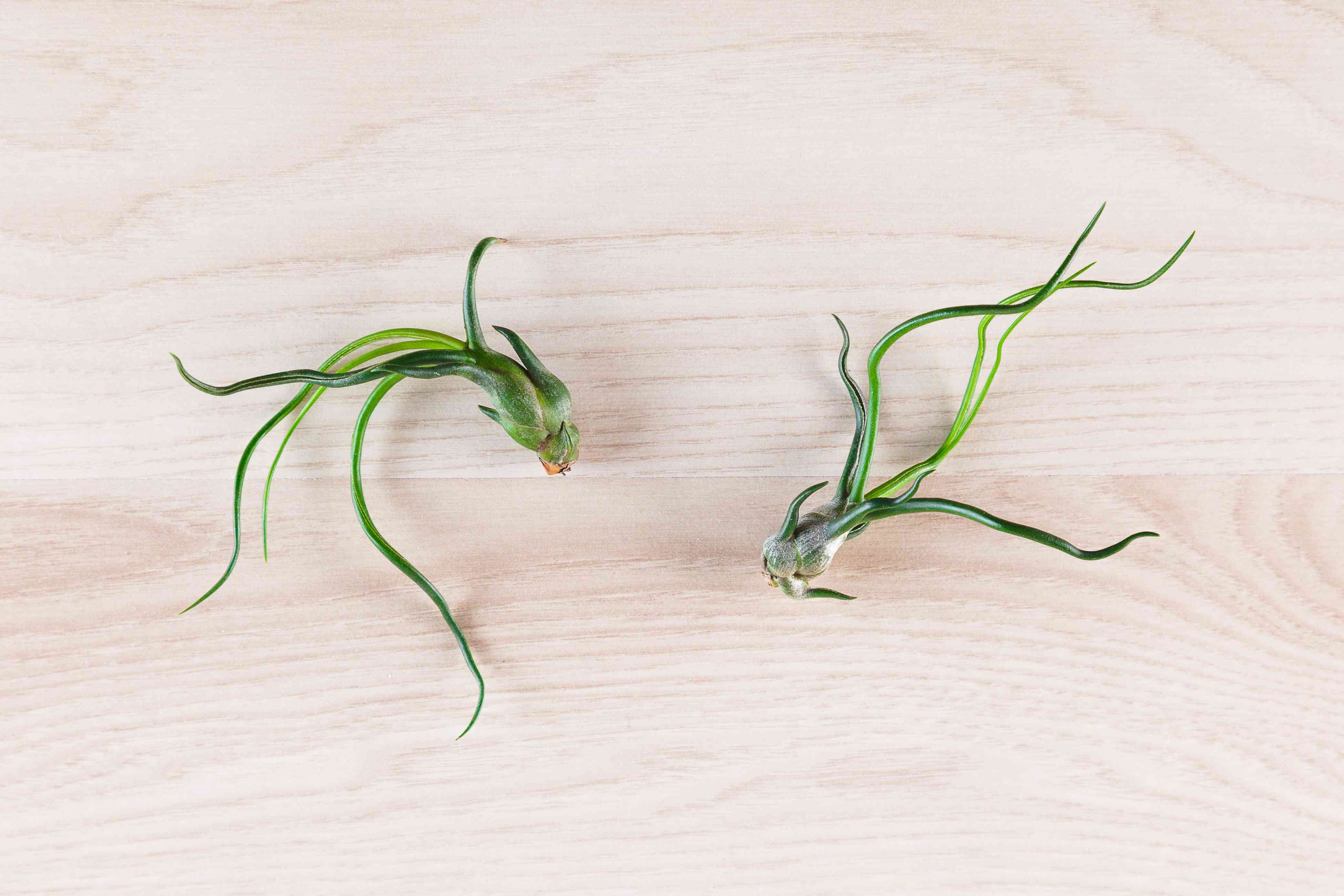 Bulbous air plants with scant green leaves