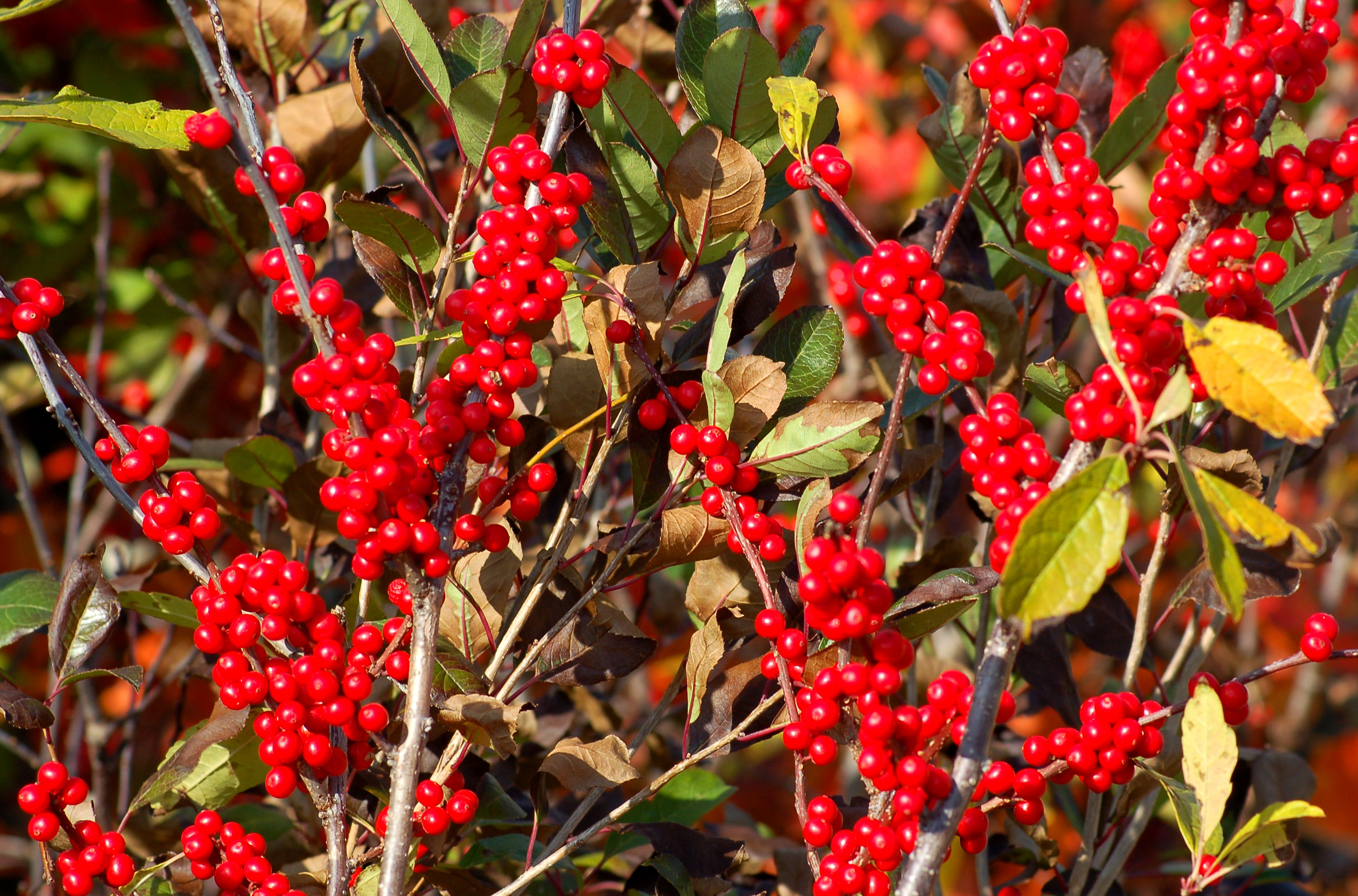 Winterberry with red berries.